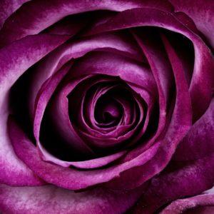 バラの香り成分に抗うつ効果がある