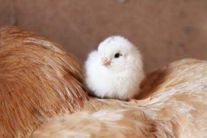 有精卵の卵を買えばひよこが誕生する